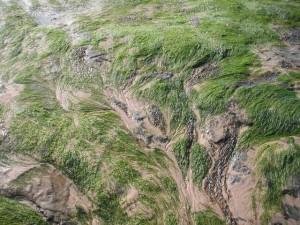 seaweed2